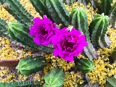 20190429_Shannon_phone_0307.jpg (Ryan and Shannon Gutenkunst) Tags: cactusflowers morningwalk