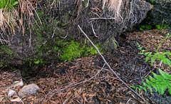 1905 Maverick Spring (c.miles) Tags: coronadonationalforest maverickspring maverickspringtrail santacatalinamountains spring