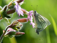 Green Veined White x2 (bredmañ) Tags: white greenveinedwhite butterfly insect wild uk british wildlife nature naturallight handheld closeup macro flower campion mating olympus em1mkii 300mmf4