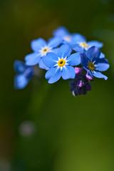 Forget-Me-Not (pstenzel71) Tags: blumen natur pflanzen forgetmenot vergissmeinnicht myosotis darktable flower bokeh spring frühling