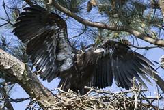 bald eagle  Yorktown Virginia (watts photos1) Tags: bald eagle yorktown virginia eagles raptor raptors bird birds wild nature nest va