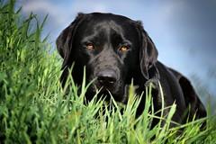 Mai Girl (uwe.kast) Tags: labrador labradorretriever labradorredriver bichou hund haustier dog gras black lumix g9 100300