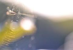 scatterscape webnesday (conall..) Tags: golden privet goldenprivet nikon afs nikkor f18g lens 50mm prime primelens nikonafsnikkorf18g closeup raynox dcr250 macro county down tullynacree nw551041 annacloy garden northernireland refraction colour scatter light wavelength dependent bands silk web spider scatterscape webwednesday webnesday