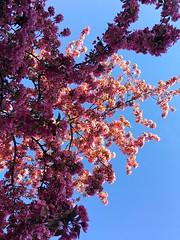 Flowering Paradise-Appletree (halleluja2014) Tags: romantic love dalarna falun nybrogatan beauty deeppink flowering blossom rosaceae paradiseappletree paradisäpple paradisäppelträd paradiseapple