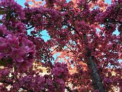 Paradise Appletree in Full Bloom (halleluja2014) Tags: inside paradisäpple paradisäppelträd paradiseappletree paradiseapple intense rosaceae blomning blossom flowering deeppink beauty nybrogatan falun dalarna