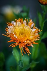 Flower (vostok 91) Tags: vostok91 canon eos40d canonef70300mmf456isusm fleur flower flore orange vert nature