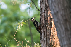 great_spotted_woodpecker (Servierduese) Tags: specht buntspecht woodpecker great spotted bird wildlife 400mm