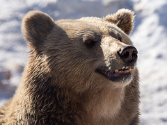 Polar Park - Brown Bear 3 (astronut2007) Tags: polarpark bardu norway arcticcircle vikingsky bear brownbear
