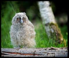 """Leo..."" (Phil Dodd CPAGB BPE2*) Tags: birdsofprey fujifilm xf50140mmf28lens westmidlands nature falconrycentrehagley fujifilmxpro1 birds longearedowl naturalhistory owls fuji mirrorlessrevolution thegreatoutdoors fujixseries xpro1 naturallight wildlife"