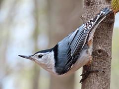 Talk Is Cheep (Meryl Raddatz) Tags: bird whitebreastednuthatch nuthatch nature naturephotography canada wildlife