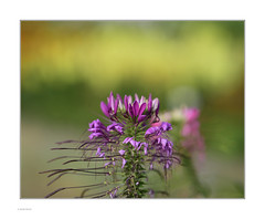 Sidelight! (Michael Fleischer) Tags: garden morning texture details shallow depth bokeh sidelight cleome edderkoppeplante sigma 105mm f14 art