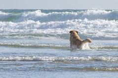 Ocean Dog (Cyril Ribault) Tags: tamronaf18200mmf3563xrdiiildasphericalif tamron pentax kr ocean chien dog plage mer vague atlantiqu