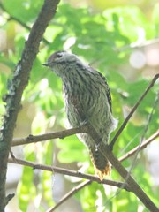 500_4292 (Bird Brian) Tags: femalecardinal