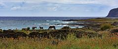 Wild horses grazing seaside, Easter Island (David D Moore) Tags: easterisland rapanui isladepascua moai ahutongariki ranoraraku anakena ahuakivi theseven birdmancult birdman birdmen orongo ahutahai koteriku tahai vaiure ranokau polynesia chile