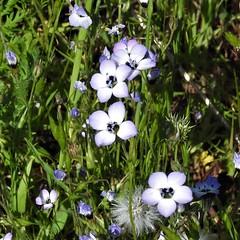 Bird's Eye Gilia--Gilia tricolor (Polioptila caerulea) Tags: birdseyegilia giliatricolor gilia tablemountain buttecounty california