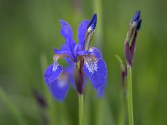 Iris 2019 (MJMPHOTOS.IE) Tags: flowers iris floral florals sony85mm