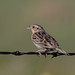 Grasshopper Sparrow | Pawnee National Grasslands | CO|2018-06-06|17-15-18