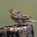 Grasshopper Sparrow | Pawnee National Grasslands | CO|2018-06-07|10-46-30