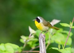 Common Yellowthroat (swmartz) Tags: nikon nature newjersey wildlife birds yellow outdoors mercercounty may 2019 200500mm d610 polefarm mercermeadows