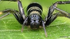 Ant-mimicking Sac Spider, Castianeira sp., Corinnidae (Ecuador Megadiverso) Tags: ant antmimic antmimicking arachnida castianeirasp corinnidae focusstack mimicry sacspider spider