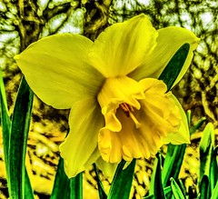 Daffodil (S.E.A. Photography) Tags: macro photography canada ontatio nature beauty spring flora flower yellow daffodil