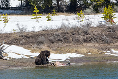 I can't believe I ate the whole thing (ChicagoBob46) Tags: grizz grizzlybear grizzly bear yellowstonenationalpark yellowstone nature wildlife coth5 ngc