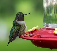 STARING BACK (_Val W) Tags: chathamkent ontario canada k3ii5459 hummingbird backyard birds pentaxk3ii valwest