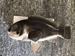 IMG_4677 (Dr.DeNo) Tags: 2018 spring black fish tautog woodcarving carver whittle art marine painted finished done