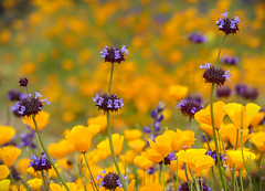 """The Earth Laughs in Flowers."" Ralph Waldo Emerson (Cathy Lorraine) Tags: california super bloom outdoors nature beauty canyon flowers wildflowers springtime colorful hills sunshine poppies hiking outside green landscape light coth5"
