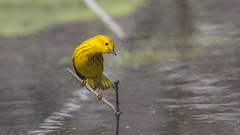 Yellow Warbler 0499 (Paul McGoveran) Tags: bird nature nikon500mmf4 nikond850 ontario peleenationalpark warbler