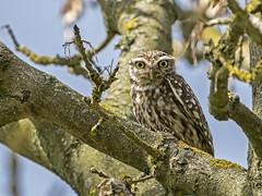 Little Owl.......Calke Abbey (Scuba`Steve`) Tags: