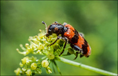 DR110901_031Ab (dmitryzhkov) Tags: life moscow russia wildlife analog documentary reproduction selection insect macro closeup macrophotography nature dmitryryzhkov film color colour colors beetle coleoptera beetles beetselect