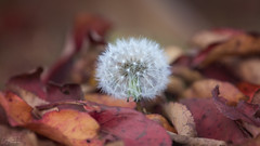 A lone little Dandelion in amongst the fallen Autumn leaves 🍂 (Riley-Dobe) Tags: dandelion leaves fall autumn colour red nature d500 70200