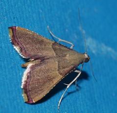 Teenas moth 56 Endosimilis sp Endotrichinae Crambidae Teenas rainforest Airlie Beach P1060179 (Steve & Alison1) Tags: teenas moth 56 endosimilis sp endotrichinae crambidae rainforest airlie beach