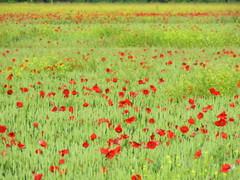 IMG_0005k (gzammarchi) Tags: italia paesaggio natura campagna ravenna lidoadriano fiore papavero grano colza