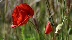 🎶Comme un p'tit coquelicot ... Toujours dans le vent de ma campagne Varoise .... (jmollien) Tags: coquelicot poppy poppies var provence provenceverte fleursdeschamps flowers flore beautiful macrophotographie