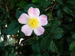Dog-rose (Anna Gelashvili) Tags: dogrose шиповник цветок роза roseflower цветы flowers цвести rose flower сад цветочки ვარდი ვარდისფერივარდი ყვავილი leaf bright лист яркий растение garden