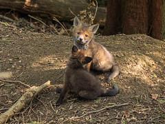 Fox cubs (Bruce Clarke) Tags: olympus universityofoxford oxfordshire m43 wildanimal foxcub 12100mmf4 spring den outdoor omdem1 fox wythamwoods wildlife woods vulpesvulpes naturephotography redfox