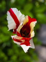 Striped tulip (Raoul Pop) Tags: bloom blossom color descriptor flower garden home nature plant red spring striped time tulip vegetal vegetation white mediasch transilvania romania