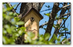 Pb_5160113 (calpha19) Tags: imagesvoyagesphotography adobephotoshoplightroom olympusomdem1mkii zuiko ed50200swd nature printemps 2019 oiseaux mésangenonette mésangebleue nid grangessurvologne grandest vosges ngc flickrsexplore