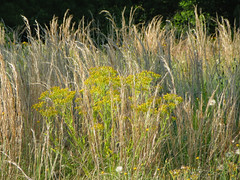 Weeds And Tall Grass. (dccradio) Tags: lumberton nc northcarolina robesoncounty outdoor outdoors outside nature natural field meadow pasture tallgrass weeds yellow plant plants grass ground scenic canon powershot elph 520hs photooftheday photo365 project365 may thursday morning goodmorning thursdaymorning