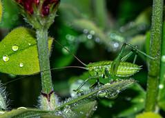 Grünes Heupferd (robert.pechmann) Tags: makro macro insekt heupferg männlich robert pechmann grünes green