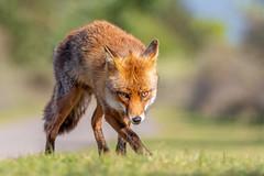 Red Fox, Vulpus vulpus (bendalgleishwildlife) Tags: red fox vulpus zandvoort netherlands mammal nikon wild wildlife natural world d500 300mm f4