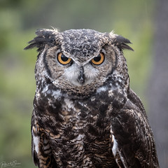 Great horned Owl (RWShea Photography) Tags: sunriver owl great horned oregon