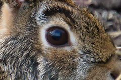 Eye of the Hare (KWPashuk (Thanks for >3M views)) Tags: sony alpha a6000 55210mm lightroom luminar2018 luminar luminar3 luminar31 kwpashuk kevinpashuk rabbit bunny hare detail eye wildlife urbanwildlife nature animal portrait
