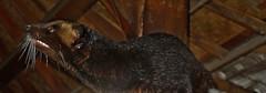 INDONESIEN, Bali -  Luwak-Schleichkatze, luak-cat,   18213/11492 (roba66) Tags: bali urlaub reisen travel explore voyages rundreise visit tourism roba66 asien asia indonesien indonesia insel island île insulaire isla tier tiere animal animals creature katze schleichkatze luwak kaffeekatze kaffee luak