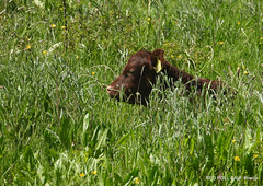 Thanks for viewing. (pete Thanks for 5 Million Views) Tags: hwcp thanks for viewing red poll calf
