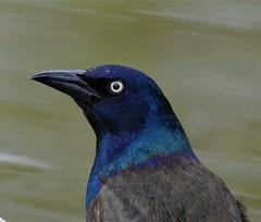 Common Grackle Profile (primpenny1) Tags: commongrackle bird portrait headshot wildlife nature