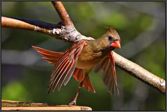 Northern Cardinal Pirouette (Bob Garrard) Tags: northern cardinal pirouette bird birding feeder