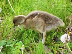 Gorgeous Greylag Goose Gosling Gobbling Greedily! (Adam.L.) Tags: greatbritain geese goose greylaggeese green flora fauna animals wildfowl wildlife leigh leighlancashire leedsliverpool leedsliverpoolcanal unitedkingdom